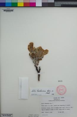 Salix hookeriana image