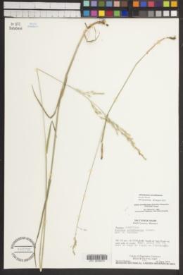 Schedonorus arundinaceus image