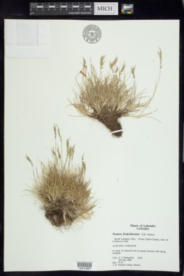 Image of Festuca frederikseniae