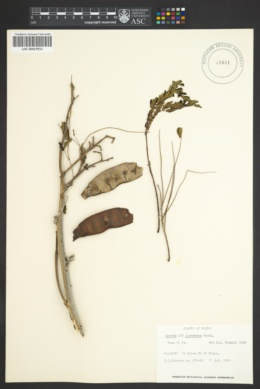 Image of Acacia glomerosa