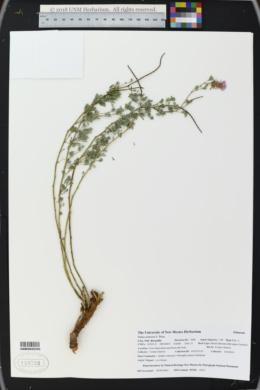 Image of Dalea scariosa