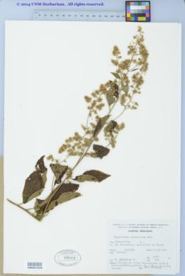 Image of Eupatorium scabrellum