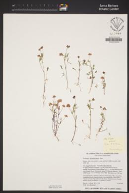 Trifolium depauperatum image