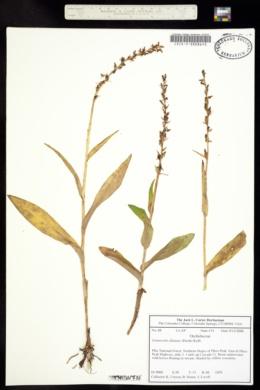 Limnorchis dilatata image