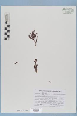 Arceuthobium microcarpum image