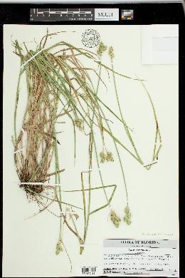 Carex vexans image