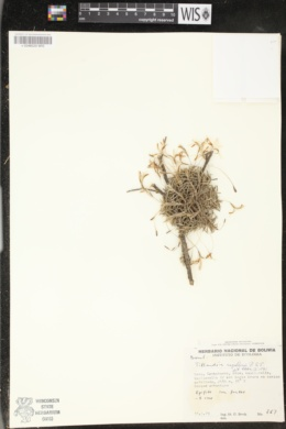 Image of Tillandsia capillaris