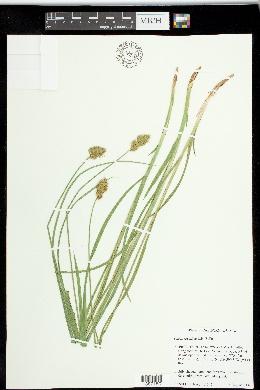 Carex specifica image