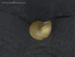 Potamopyrgus antipodarum image