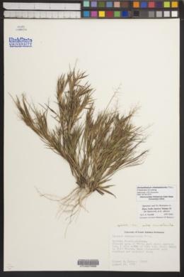 Image of Dichanthelium chamaelonche