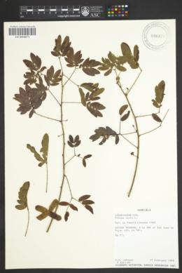 Image of Mimosa casta