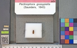Pectinophora gossypiella image