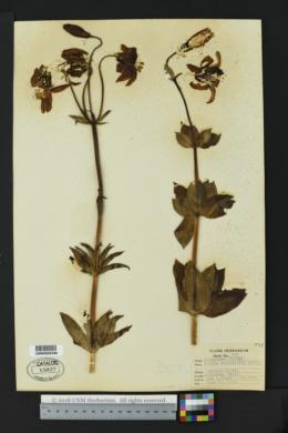 Image of Lilium occidentale