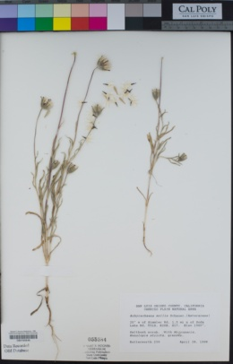 Achyrachaena mollis image