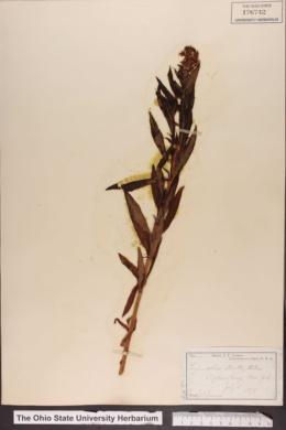 Lysimachia stricta image