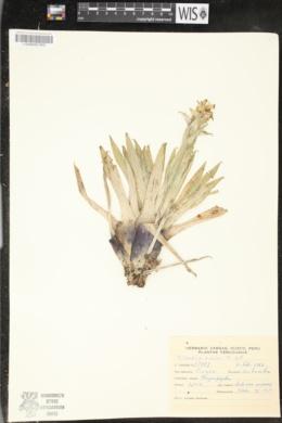Image of Tillandsia bicolor