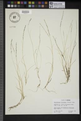Muhlenbergia filiformis image