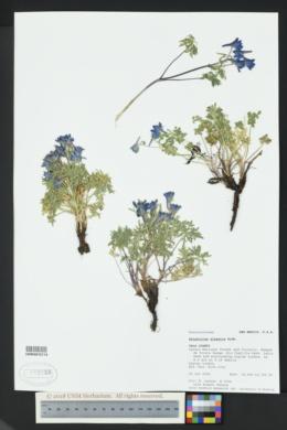 Image of Delphinium alpestre