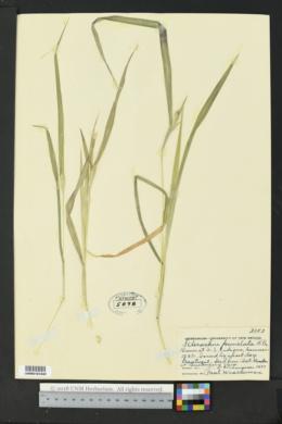 Image of Chionachne punctata