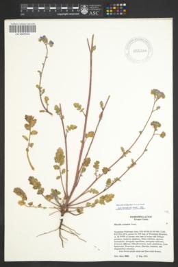 Phacelia bombycina image