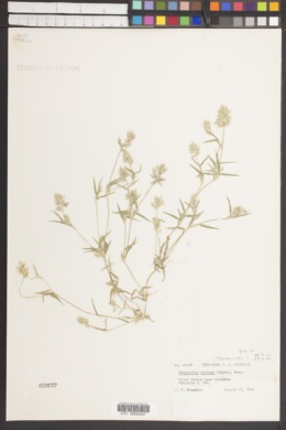 Eragrostis reptans image