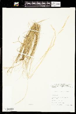 Sphenopholis filiformis image