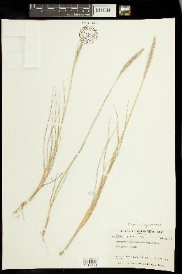 Image of Elymus x yukonensis
