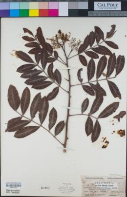 Image of Schinus terebinthifolius