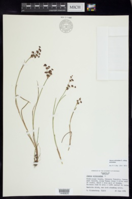 Juncus articulatus subsp. articulatus image