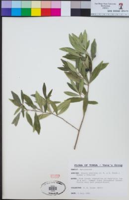 Alyxia stellata image