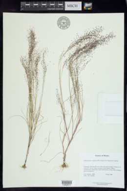Image of Muhlenbergia capillipes