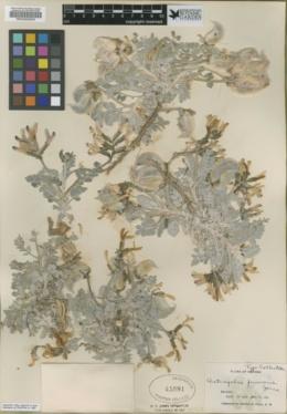 Astragalus funereus image