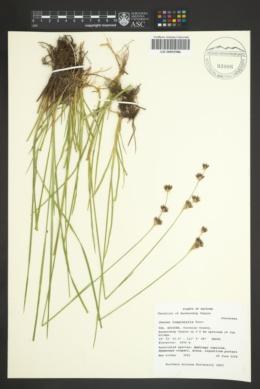 Juncus longistylis image