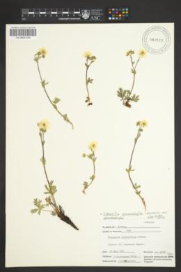 Potentilla glaucophylla var. glaucophylla image