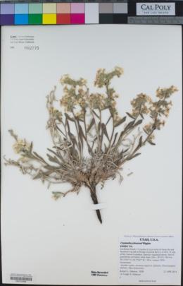 Oreocarya johnstonii image