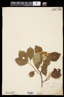 Crataegus succulenta image