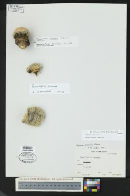 Image of Mammillaria candida