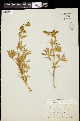 Image of Lupinus hallii