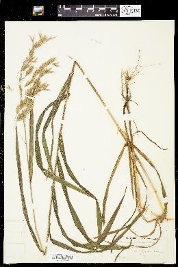 Bromus latiglumis image