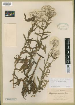 Gnaphalium chartaceum image