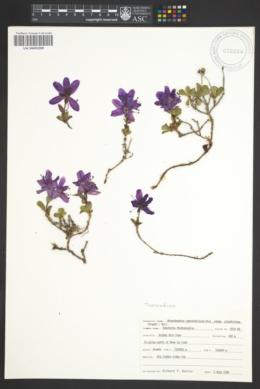 Image of Rhododendron camtschaticum