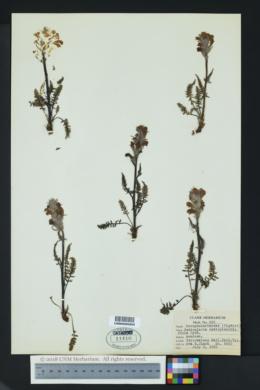 Image of Pedicularis cystopteridifolia