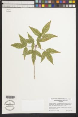 Image of Acer mandshuricum