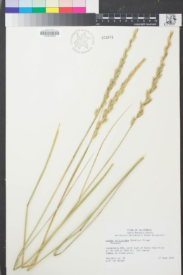 Image of Elymus triticoides