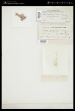 Jania corniculata image