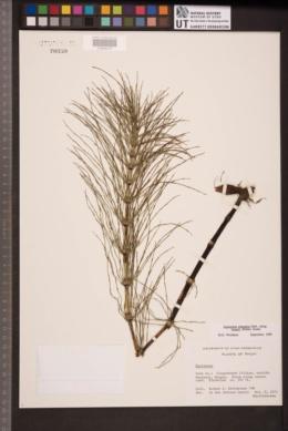 Equisetum telmateia subsp. braunii image