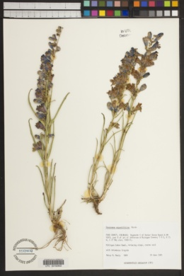 Penstemon angustifolius image