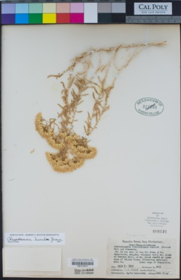 Image of Chrysothamnus humilis