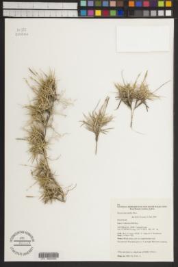 Image of Zoysia macrantha