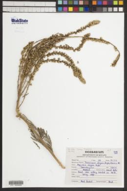 Image of Tamaricaria elegans
